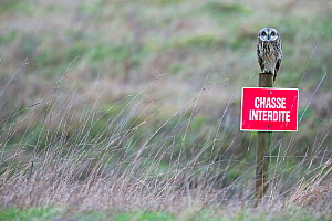 Short-eared owl (Asio flammeus) perched on sign which reads 'Chasse Interdite'  (hunting forbidden) Vendee, France, February. - David Allemand