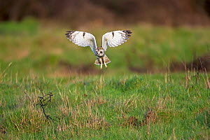 Short-eared owl (Asio flammeus) hunting, Vendee, France, February. - David Allemand