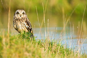 Short-eared owl (Asio flammeus) on ground,  Vendee, France, Febraury. - David Allemand