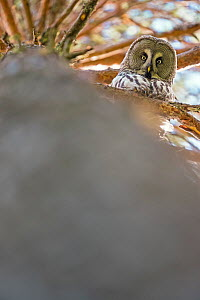Great grey owl (Strix nebulosa) looking down from branch, Finland. May. - David Allemand