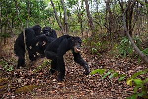Eastern chimpanzee  (Pan troglodytes schweinfurtheii) male 'Freud' aged 42 years successfully getting meat from his brother alpha male 'Ferdinand' aged 20 years.Gombe National Park, Tanzania. - Anup Shah