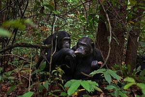 Eastern chimpanzee  (Pan troglodytes schweinfurtheii) alpha male 'Ferdinand' aged 20 year feeding on meat from a baboon kill sharing with female 'Eliza' aged 21 years.Gombe National Park, Tanzania. - Anup Shah