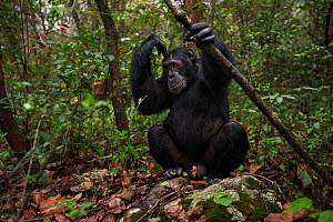 Eastern chimpanzee  (Pan troglodytes schweinfurtheii) male 'Sheldon' aged 30 years sitting on the forest floor.Gombe National Park, Tanzania.  -  Anup Shah