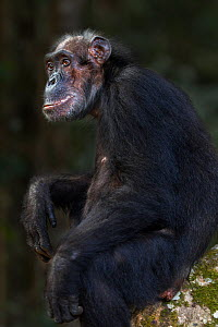 Eastern chimpanzee  (Pan troglodytes schweinfurtheii) female 'Sparrow' aged 55 years sitting portrait.Gombe National Park, Tanzania. September 2013.  -  Anup Shah