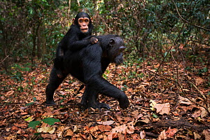Eastern chimpanzee  (Pan troglodytes schweinfurtheii) female 'Fanni' aged 32 years carrying her infant son 'Fifty' aged 3 years on her back.Gombe National Park, Tanzania. September 2013. - Anup Shah
