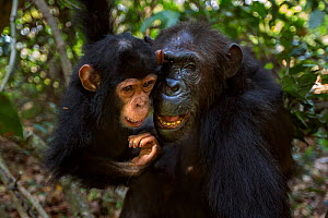 Eastern chimpanzee  (Pan troglodytes schweinfurtheii) female 'Gremlin' aged 42 years playing with her grandaughter 'Glamour' aged 2 years.Gombe National Park, Tanzania. September 2013.  -  Anup Shah
