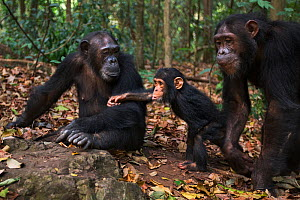 Eastern chimpanzee  (Pan troglodytes schweinfurtheii) female 'Gaia' aged 20 years with her sister 'Golden' aged 15 years and niece 'Glamour' aged 2 years.Gombe National Park, Tanzania. September 2013. - Anup Shah