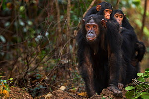 Eastern chimpanzee  (Pan troglodytes schweinfurtheii) female 'Golden' aged 15 years with her sister 'Gaia' aged 20 years walking carrying their infants on their backs.Gombe National Park, Tanzania. - Anup Shah