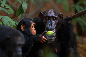 Eastern chimpanzee  (Pan troglodytes schweinfurtheii) female 'Sandi' aged 40 years feeding on mango watched by infant male 'Duke' aged 2 years.Gombe National Park, Tanzania.  -  Anup Shah