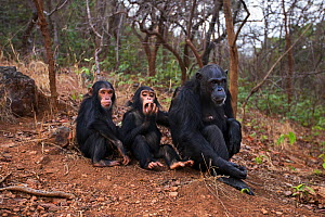 Eastern chimpanzee  (Pan troglodytes schweinfurtheii) female 'Fanni' aged 32 years sitting with her son 'Fifty' aged 3 years and daughter 'Fadhila' aged 5 years.Gombe National Park, Tanzania. - Anup Shah