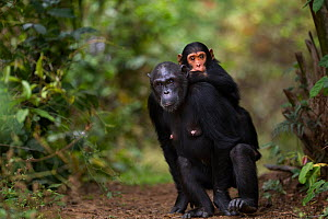 Eastern chimpanzee  (Pan troglodytes schweinfurtheii) female 'Fanni' aged 32 years carrying her infant son 'Fifty' aged 3 years on her back.Gombe National Park, Tanzania. - Anup Shah