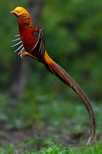 Golden pheasant (Chrysolophus pictus) male jumping, Yangxian Biosphere Reserve, Shaanxi, China - Staffan Widstrand / Wild Wonders of China