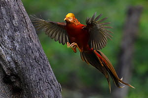 Golden pheasant (Chrysolophus pictus) landing on tree,   Yangxian Biosphere Reserve, Shaanxi, China - Staffan Widstrand / Wild Wonders of China