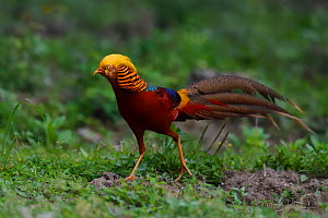 Golden pheasant (Chrysolophus pictus) male walking on ground, Yangxian Biosphere Reserve, Shaanxi, China - Staffan Widstrand / Wild Wonders of China