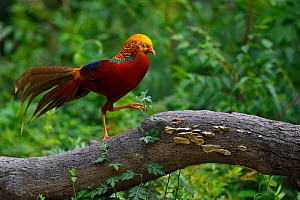 Golden pheasant (Chrysolophus pictus) male walking on branch, Yangxian Biosphere Reserve, Shaanxi, China - Staffan Widstrand / Wild Wonders of China
