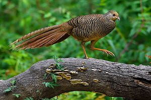 Golden pheasant (Chrysolophus pictus) female  walking over a branch, Yangxian Biosphere Reserve, Shaanxi, China - Staffan Widstrand / Wild Wonders of China