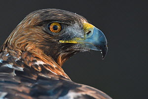 Golden eagle (Aquila chrysaetos) male head portrait, Kalvtrask, Vasterbotten, Sweden. December.  -  Staffan Widstrand