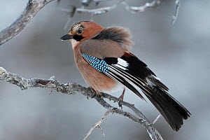 Jay (Garrulus glandarius) perched on branch, Kalvtrask, Vasterbotten, Sweden. December.  -  Staffan Widstrand