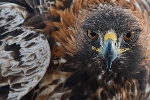 Golden eagle (Aquila chrysaetos) male, close up of head and wing feathers, Kalvtrask, Vasterbotten, Sweden. December.  -  Staffan Widstrand