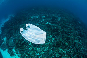 Plastic bag floating over coral reef. Ambon, Maluku Archipelago, Indonesia. Banda Sea, tropical west Pacific Ocean. November, 2017.  -  Alex Mustard