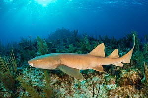 Nurse shark (Ginglymostoma cirratum) with damaged jaw swimming over coral reef in evening. North Wall, Grand Cayman, Cayman Islands, British West Indies. Caribbean Sea. - Alex Mustard