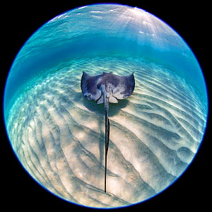 RF - Southern stingray (Dasyatis americana) swimming over sand ripples. Circular fisheye shot. Sandbar in Stingray City, Grand Cayman, Cayman Islands, British West Indies. Caribbean Sea. (This image m... - Alex Mustard