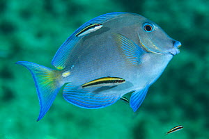 Blue tang (Acanthurus coeruleus) with Bluehead (Thalassoma bifasciatum) juveniles at cleaning station on coral reef. George Town, Grand Cayman, Cayman Islands, British West Indies. Caribbean Sea. Digi... - Alex Mustard