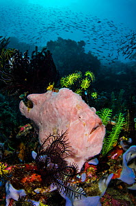 Giant / Commerson's frogfish (Antennarius commersoni) waiting to ambush prey. Amongst Crinoids and Sponges on coral reef. Nusa Kode, Rinca Island, Komodo National Park, Indonesia. South East Asia. Hor...  -  Alex Mustard