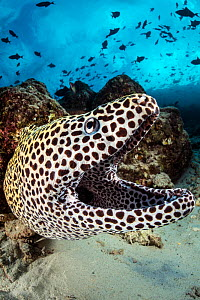 Honeycomb moray (Gymnothorax favagineus) on coral reef with Triggerfish (Balistidae) schooling above. North Male Atoll, Maldives. Indian Ocean. - Alex Mustard