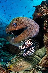 Giant moray (Gymnothorax javanicus), Honeycomb moray (Gymnothorax favagineus) and Undulated moray (Gymnothorax undulatus) eels, four emerging from hole in coral reef. North Male Atoll, Maldives. India... - Alex Mustard