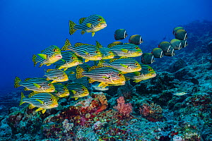 RF - Oriental sweetlips (Plectorhinchus vittatus)l and Redtail butterflyfish (Chaetodon collare) schools in coral reef. Lankan Island, North Male Atoll, Maldives. Indian Ocean. (This image may be lice... - Alex Mustard
