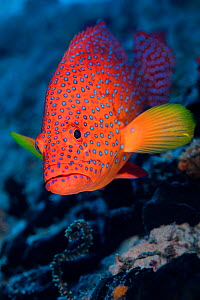 Coral grouper (Cephalopholis miniata) male. South Male Atoll, Maldives. Indian Ocean (This image may be licensed either as rights managed or royalty free.) - Alex Mustard