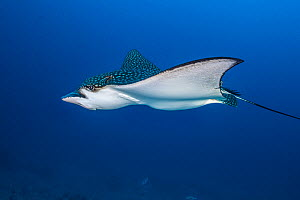 Spotted eagle ray (Aetobatus narinari), female swimming over coral reef. Individual appears heavily pregnant. South Male Atoll, Maldives. Indian Ocean. - Alex Mustard