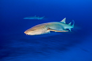 RF - Tawny nurse shark (Nebrius ferrugineus) at dusk. Vavuu Atoll, Maldives. Indian Ocean. (This image may be licensed either as rights managed or royalty free.) - Alex Mustard