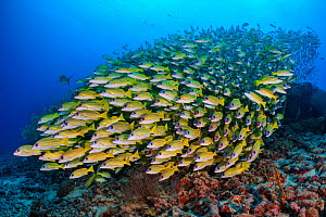 Blueline snapper (Lutjanus kasmira) school. Vavuu Atoll, Maldives. Indian Ocean. - Alex Mustard