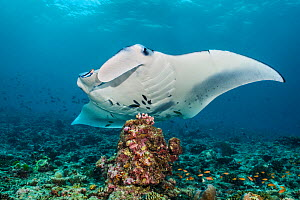 Reef manta (Mobula alfredi) at a cleaning station with Cleaner wrasse (Labroides dimidiatus). South Ari Atoll, Maldives. Indian Ocean. - Alex Mustard