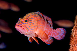 Sixbar grouper (Cephalopholis sexmaculata) in overhang on a coral reef. South Ari Atoll, Maldives. Indian Ocean. - Alex Mustard