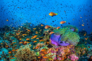 RF - Maldive anemonefish (Amphiprion nigripes) swimming above their host Magnificent sea anemone (Heteractis magnifica) on coral reef. Scalefin anthias (Pseudanthias squamipinnis) swimming in backgrou... - Alex Mustard