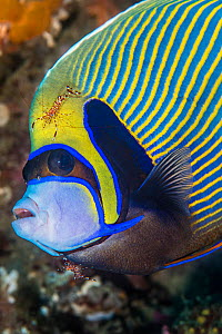 Emperor angelfish (Pomacanthus imperator) with Cleaner shrimp (Urocaridella sp.) grooming it. South Ari Atoll, Maldives. Indian Ocean. - Alex Mustard