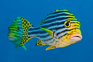 Oriental sweetlips (Plectorhinchus vittatus) pair. South Ari Atoll, Madlives. Indian Ocean. - Alex Mustard
