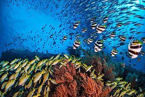 Bengal snapper (Lutjanus bengalensis), Bannerfish (Heniochus diphreutes) and Fusiliers (Caesio sp.) diving towards coral reef to avoid predators. North Ari Atoll, Maldives. Indian Ocean. - Alex Mustard