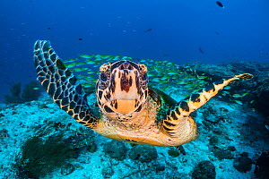 RF - Hawksbill turtle (Eretmochelys imbricata) on coral reef, with Bengal snapper fish (Lutjanus bengalensis) in background. North Ari Atoll, Maldives. Indian Ocean. (This image may be licensed either... - Alex Mustard