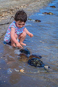 Toddler watching a pair of Horseshoe crabs (Limulus polyphemus) spawning in shallow water. Larger female and smaller male. Indian River, North Atlantic Ocean. Titusville, Merrit Island, Florida, USA....  -  Alex Mustard