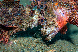 Raggy scorpionfish (Scorpaenopsis venosa) disputing territory. Ambon Bay, Ambon, Maluku Archipelago, Indonesia. Banda Sea, tropical west Pacific Ocean. - Alex Mustard