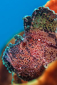 Leaf scorpionfish (Taenianotus triacanthus) on a sponge. Ambon Bay, Ambon, Maluku Archipelago, Indonesia. Banda Sea, tropical west Pacific Ocean.  -  Alex Mustard