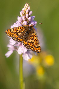 RF - Marsh fritillary butterfly (Euphydrayas aurinia) on Spotted heath orchid (Dactylorhiza maculata), Volehouse Moor, Devon, UK. June. (This image may be licensed either as rights managed or royalty...  -  Ross Hoddinott