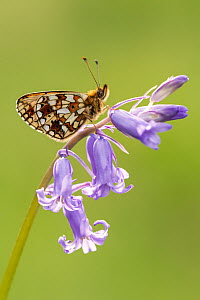 RF - Small pearl-bordered fritillary (Boloria selene) butterfly resting on English bluebell, Marsland mouth, North Devon, UK. May. (This image may be licensed either as rights managed or royalty free....  -  Ross Hoddinott