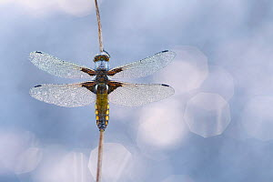 RF - Broad-bodied chaser dragonfly (Libellula depressa) covered in dew, Broxwater, Cornwall, UK. May (This image may be licensed either as rights managed or royalty free.)  -  Ross Hoddinott