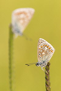 RF - Common blue butterflies (Polyommatus icarus) resting on a backlit grass, evening light, Vealand Farm, Devon, UK. June. (This image may be licensed either as rights managed or royalty free.) - Ross Hoddinott