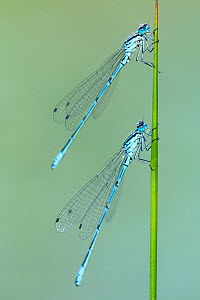 RF - Azure damselflies (Coenagrion puella) roosting on sedge, Broxwater, Cornwall, UK. June. (This image may be licensed either as rights managed or royalty free.)  -  Ross Hoddinott